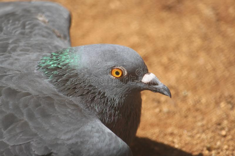 Very rare capture of a pigeon which is on the ground.staring at something with those fierce eyes which are radiant and reddish. stock photos