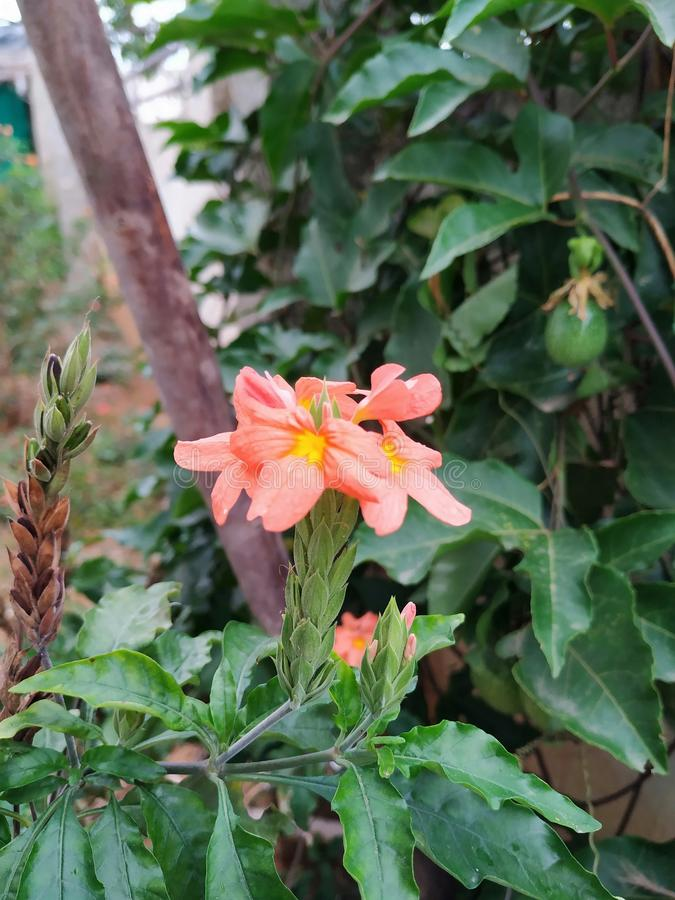 Very rare local flower present in rural india. Very rare local flower present in rural stock photos