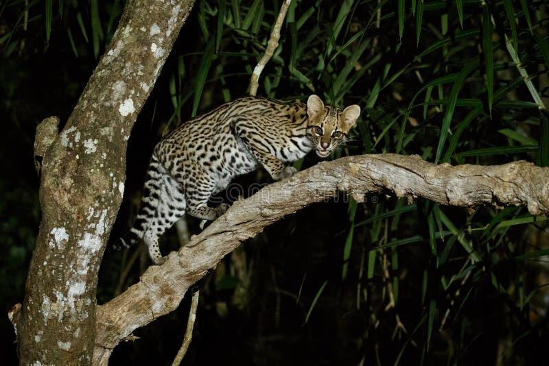 Very rare ocelot in the night of brazilian jungle royalty free stock photos