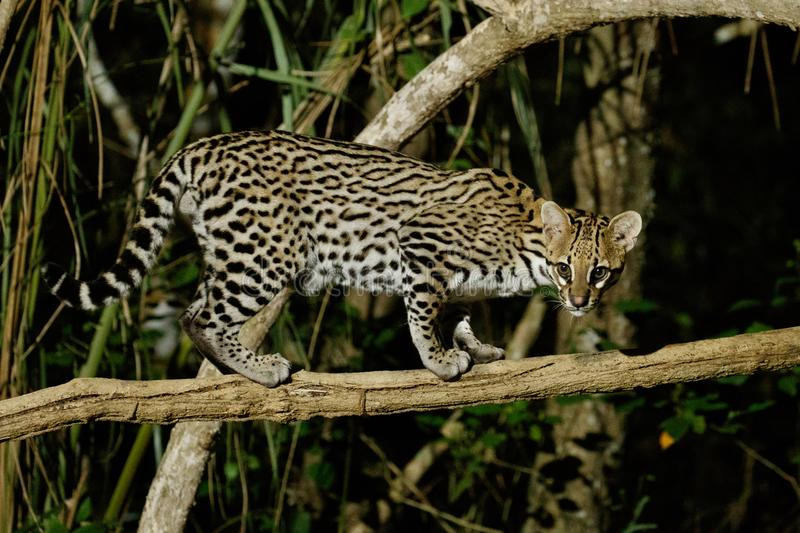 Very rare ocelot in the night of brazilian jungle stock photography