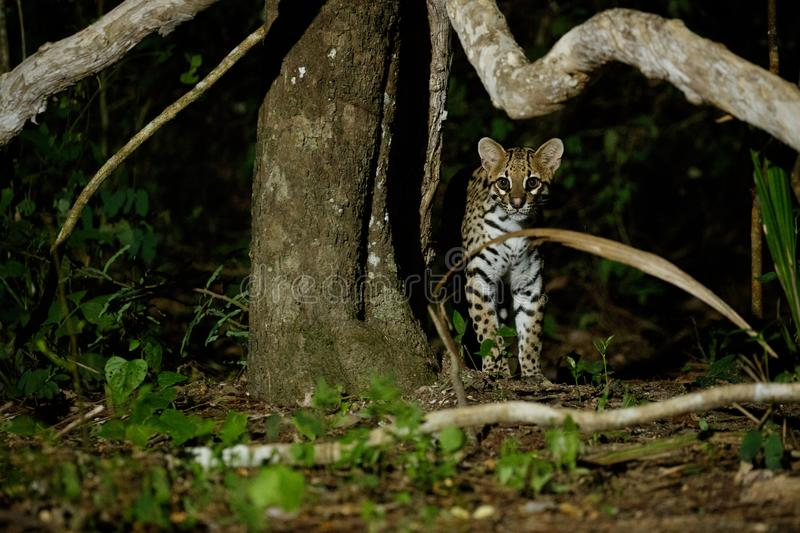 Very rare ocelot in the night of brazilian jungle royalty free stock photography