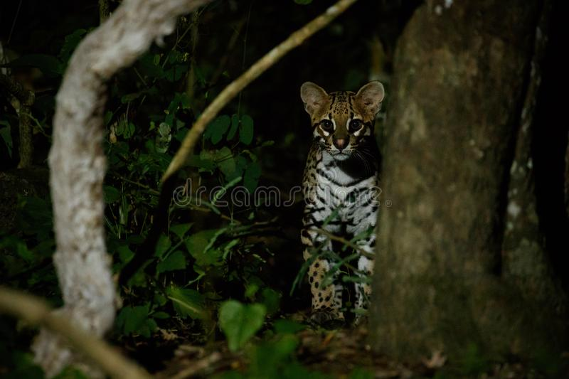 Very rare ocelot in the night of brazilian jungle royalty free stock image