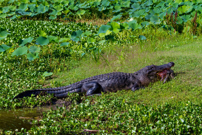 A Very Rare Shot of a Large Texas Alligator eating a Large Softshell Turtle (messy).
