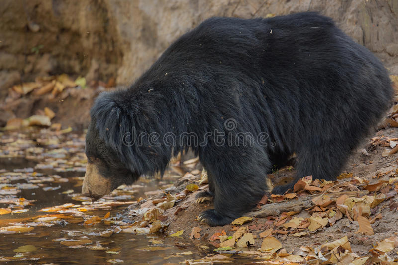 Very rare sloth bear male search for termites in indian forest. Big beautiful sloth bear male is searching termites/wild animal in the nature habitat/India/ royalty free stock image