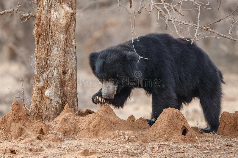Very rare sloth bear male search for termites in indian forest. Big beautiful sloth bear male is searching termites/wild animal in the nature habitat/India/ stock photo
