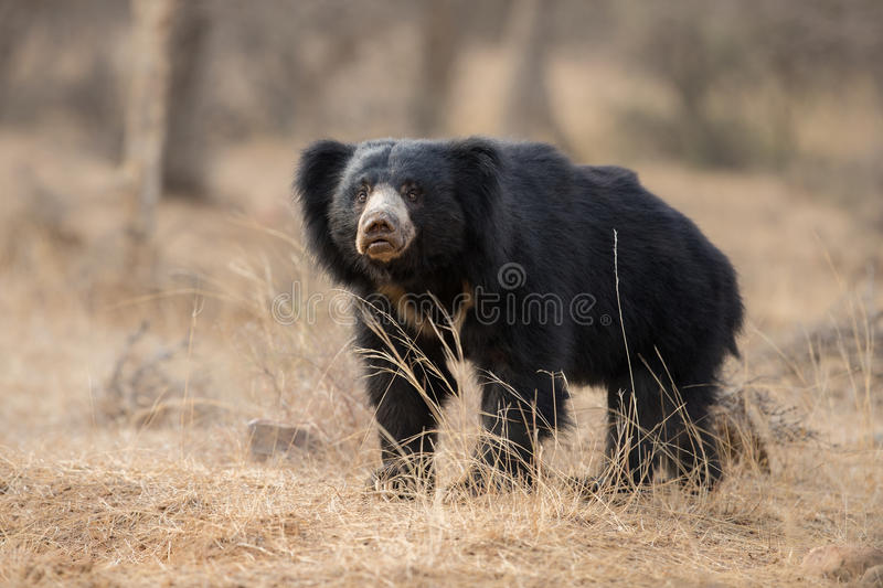 Very rare sloth bear male search for termites in indian forest. Big beautiful sloth bear male is searching termites/wild animal in the nature habitat/India/ royalty free stock photos