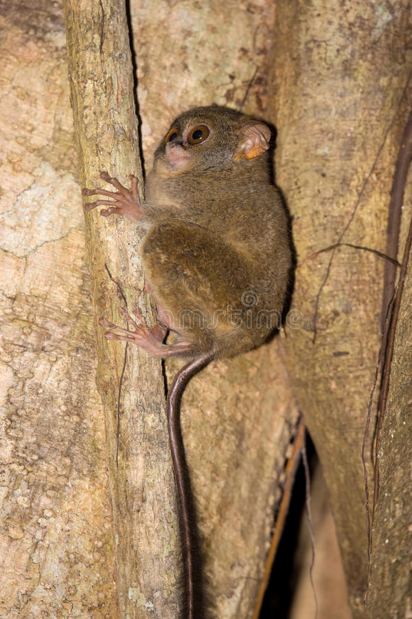 Very rare Spectral Tarsier, Tarsius spectrum,Tangkoko National Park, Sulawesi, Indonesia stock photo