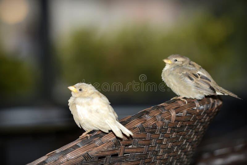 White sparrow leucism royalty free stock images