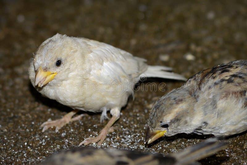 White sparrow leucism royalty free stock photography