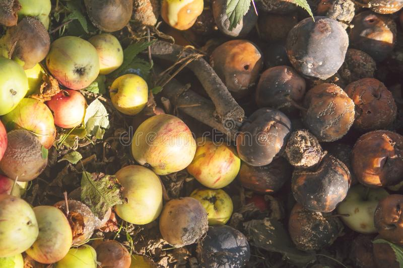 Very rotten Green, Yellow and Red Apples on the Ground. Autumn Farm Excess Crops Fruit Harvest Background. Very rotten Green, Yellow and Red Apples on the stock images