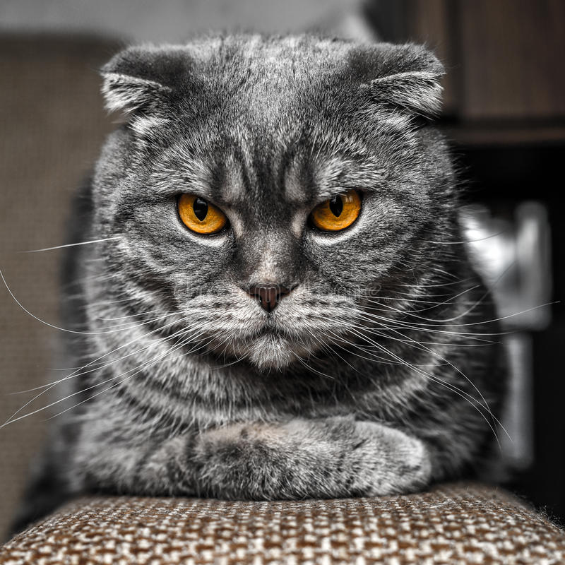 Very serious and cute cat royalty free stock image
