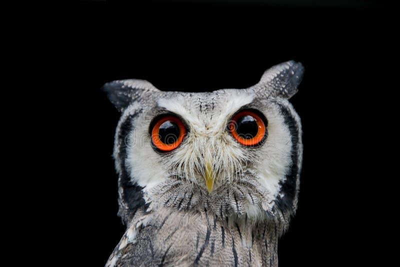Sharp owl with black background stock image