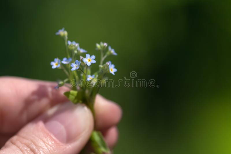 A very small bouquet of blue forget-me-not flowers in women`s hands on green blurred background. Selective focus stock images