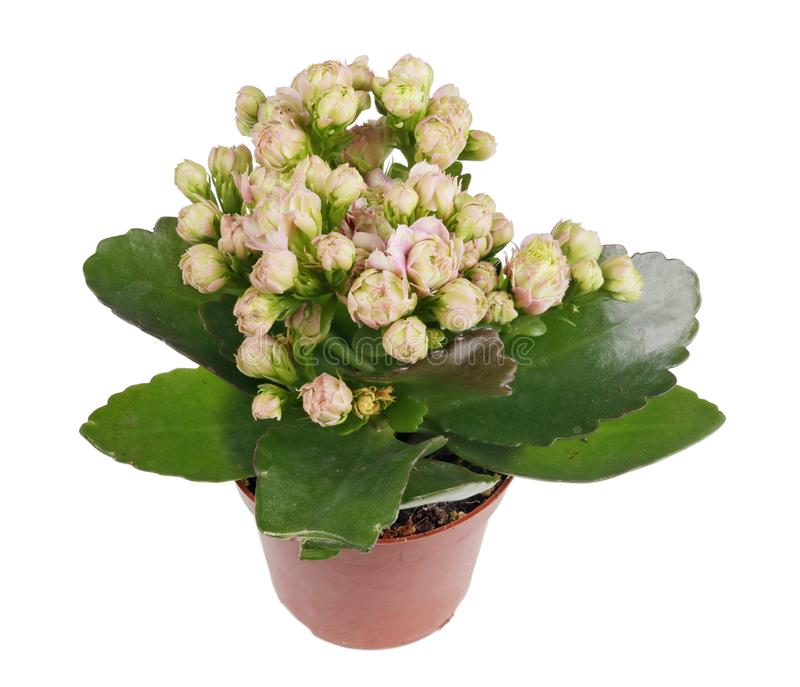 A very small houseplant with a lot of pink flowers isolated macro stock image