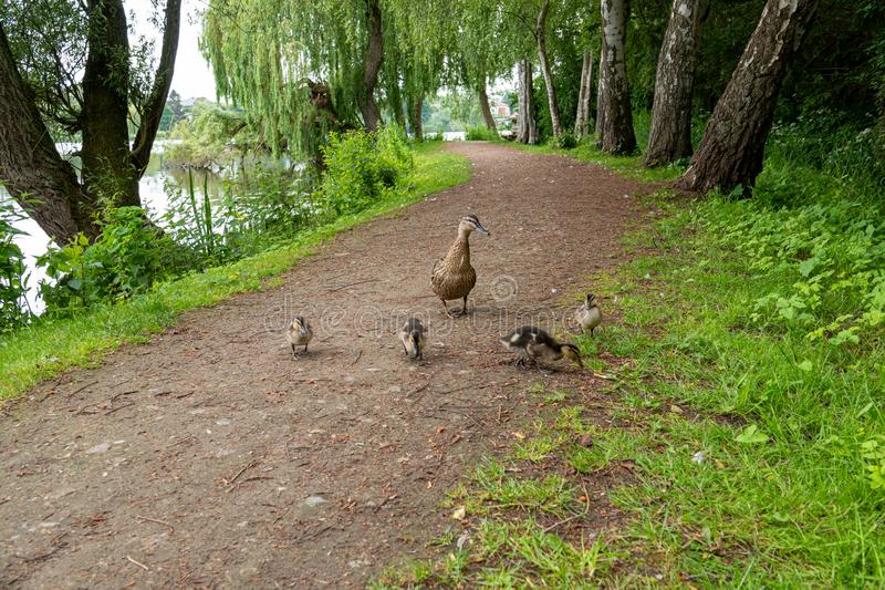 A very small mallard ducklings walk along the path along the lake royalty free stock image