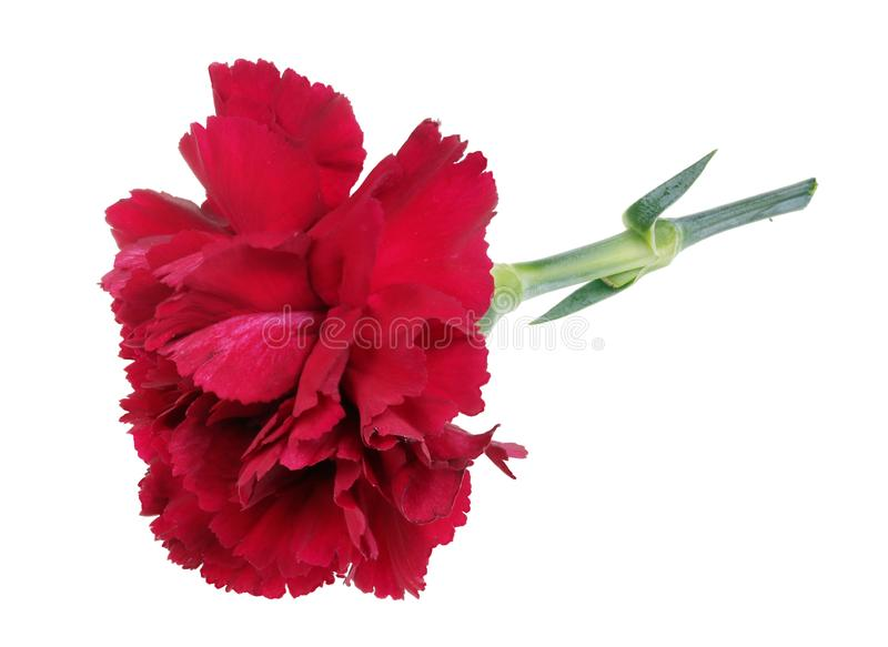 Very small perfect lonely  red carnation  flower lie on table isolated macro stock photo