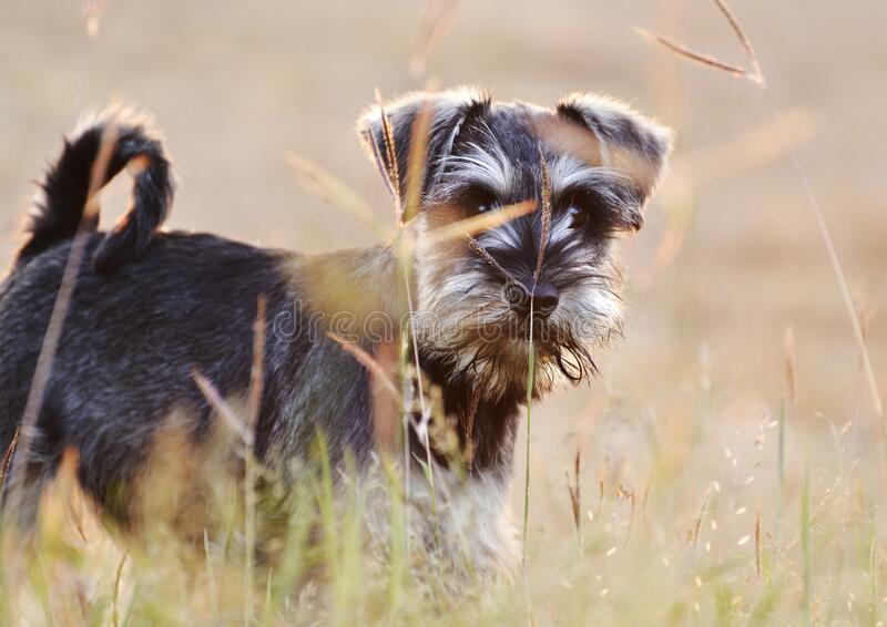 Soft cute Miniature Schnauzer puppy dog playing field long grass royalty free stock photography