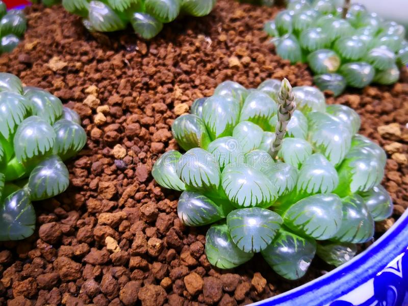 A very special kind of succulents royalty free stock photos