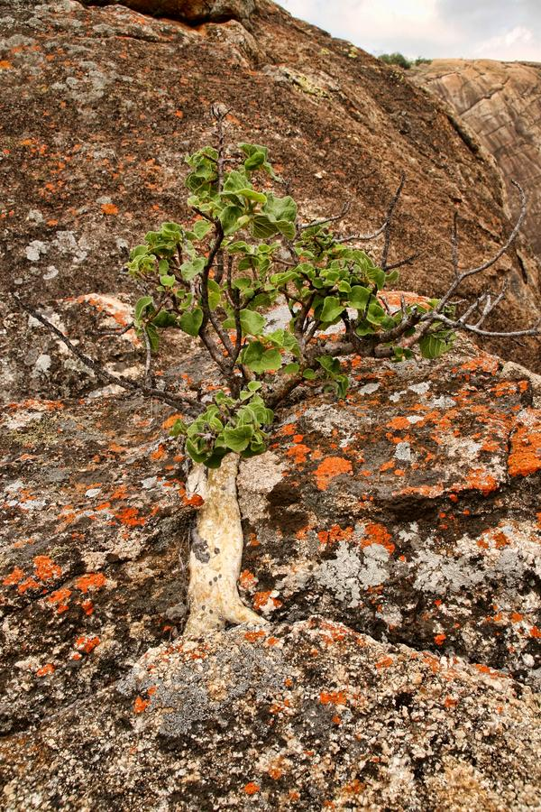 Very special vegetation on the rocks of the Matopos National Park, Zimbabwe royalty free stock photography