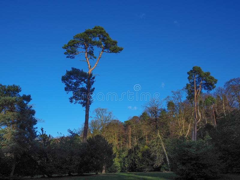 Very tall pine tree with a dark blue sky. Very tall pine tree towering above the other trees in a wood with a dark blue sky stock photography