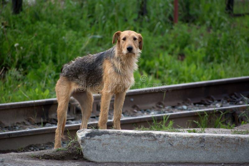 Very thin stray dog stock image