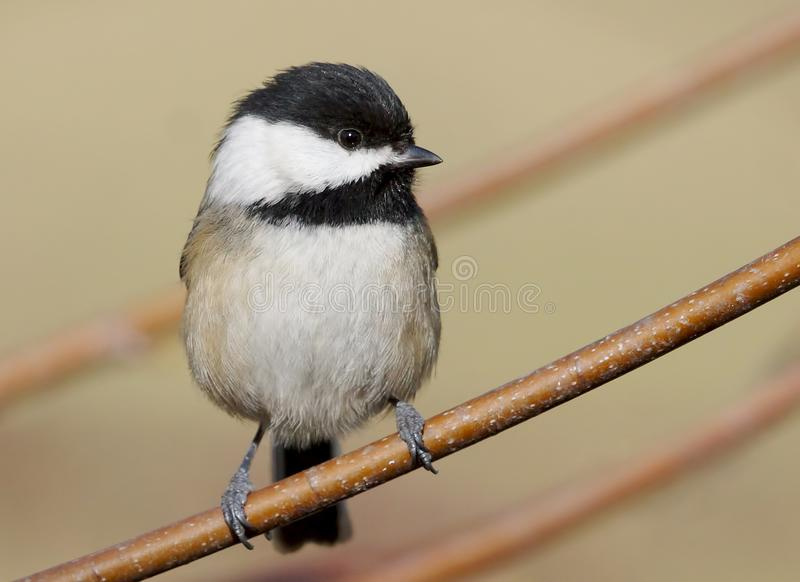 A Very Tiny Bird Called a Black-capped Chickadee royalty free stock image