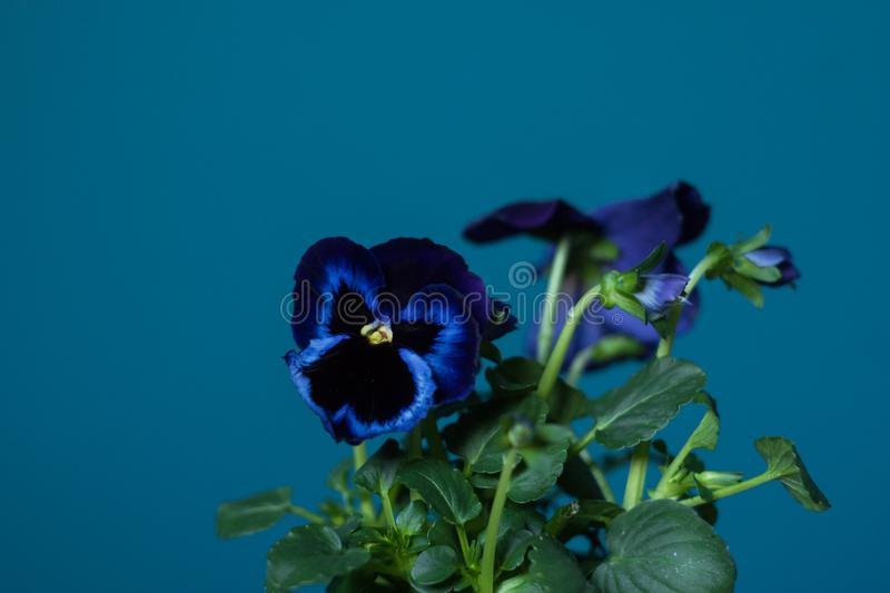 Violet pansy flowers on peacock blue, teal painted wall royalty free stock images