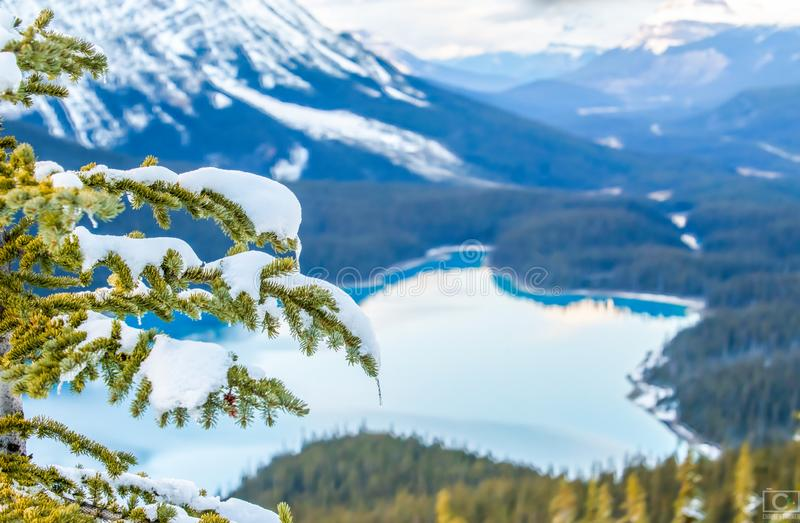 Snow and Ice clinging to Evergreen royalty free stock images