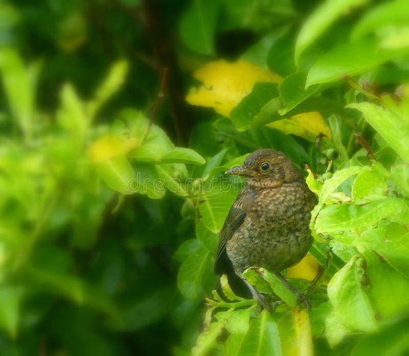 Blackbird, young, perched in laurel bushes. A very young blackbird, in fledgling plumage, perched in a bright green laurel bush stock photos
