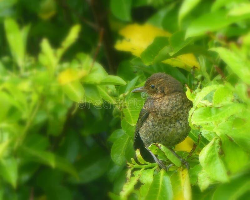 Blackbird, young, perched in laurel bushes. A very young blackbird, in fledgling plumage, perched in a bright green laurel bush stock image