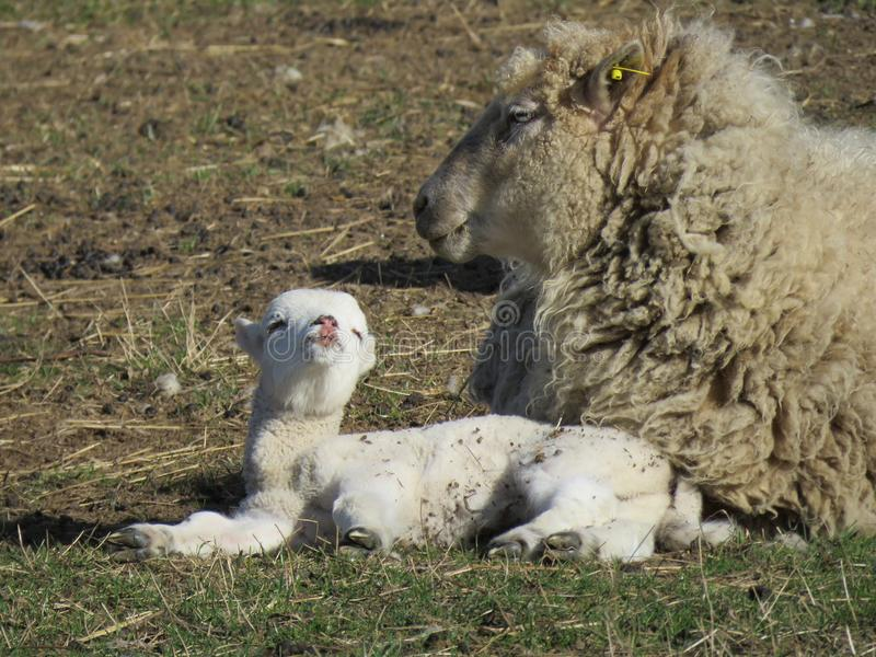 Small young lamb and adult sheep. stock images