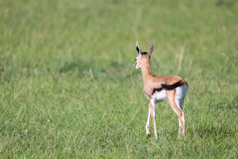 A very young Thomson Gazelle in the Kenyan grass landscape. One very young Thomson Gazelle in the Kenyan grass landscape royalty free stock photography