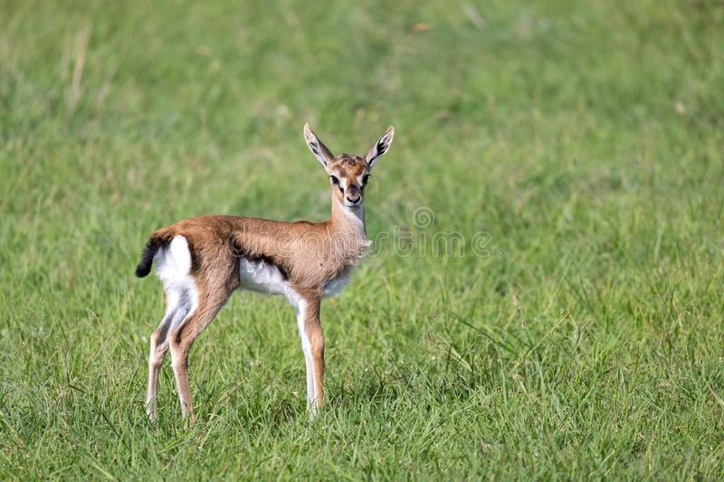 A very young Thomson Gazelle in the Kenyan grass landscape. One very young Thomson Gazelle in the Kenyan grass landscape royalty free stock image