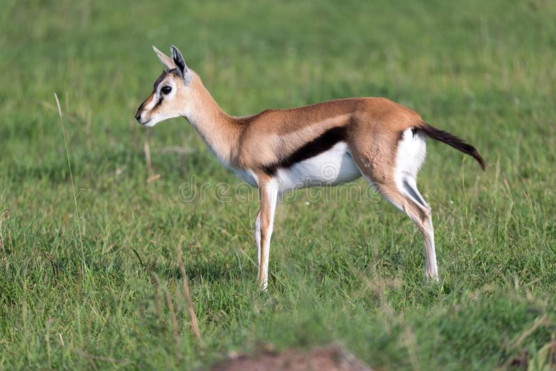 A very young Thomson Gazelle in the Kenyan grass landscape. One very young Thomson Gazelle in the Kenyan grass landscape stock photography