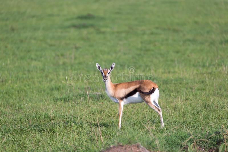 A very young Thomson Gazelle in the Kenyan grass landscape. One very young Thomson Gazelle in the Kenyan grass landscape royalty free stock images