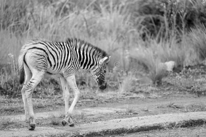 A very young zebra foal. A zebra foal approximately a week old in the Umgeni Valley Nature Reserve, Kwa-zulu Natal, South Africa royalty free stock images