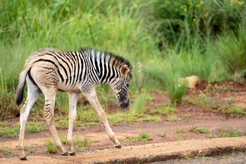 A very young zebra foal. A zebra foal approximately a week old in the Umgeni Valley Nature Reserve, Kwa-zulu Natal, South Africa stock photography