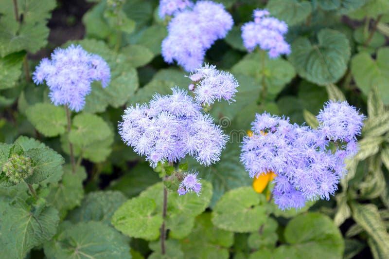 Verzacht kleine blauwe bloemen stock afbeelding