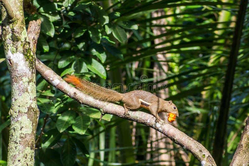 Verzachtend eekhoorntje eten stock afbeeldingen