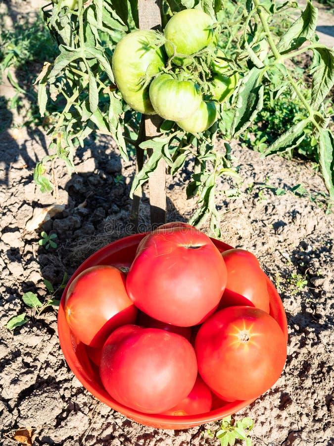 verzamelde rijpe tomaten in rood komclose-up stock foto