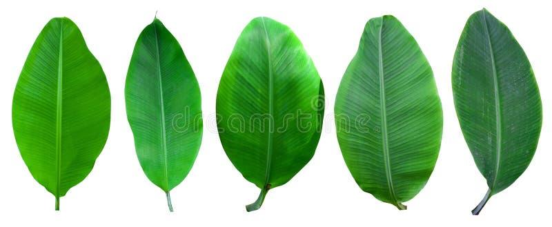 Verzameling van bananenpalmen, geïsoleerd op een witte achtergrond Banaanbladeren en banaanbos voor grafisch ontwerp Tropische vr royalty-vrije stock afbeeldingen
