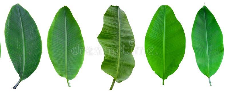 Verzameling van bananenpalmen, geïsoleerd op een witte achtergrond Banaanbladeren en banaanbos voor grafisch ontwerp Tropische vr royalty-vrije stock foto