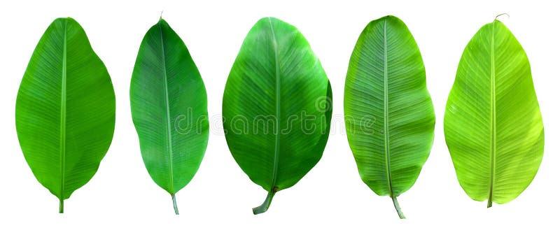 Verzameling van bananenpalmen, geïsoleerd op een witte achtergrond Banaanbladeren en banaanbos voor grafisch ontwerp Tropische vr stock foto