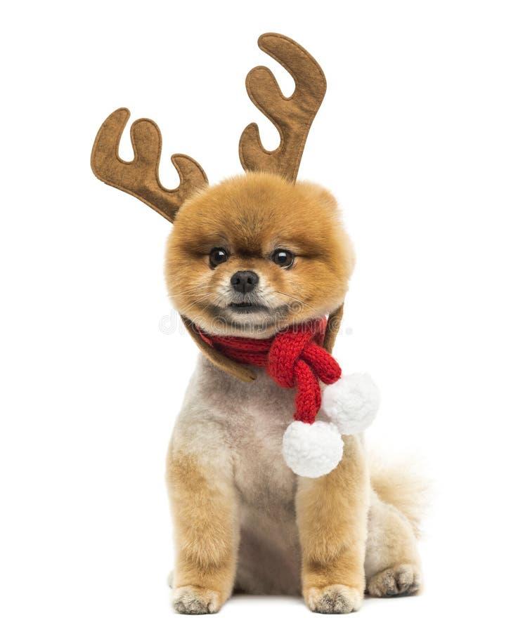 Verzorgde Pomeranian-hondzitting en het dragen van het hoofd van rendiergeweitakken royalty-vrije stock fotografie