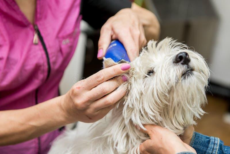Verzorgen van het Hoogland het Witte Terrier van het hondwesten stock afbeeldingen