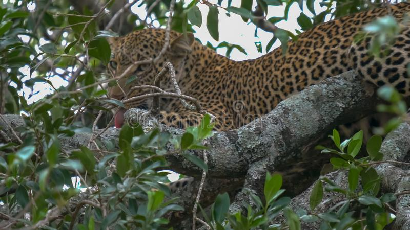 Verzorgende luipaard in boom bij masaimara nationaal park, Kenia royalty-vrije stock afbeelding