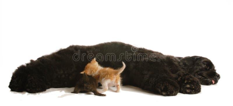 Verzorging van de hond orphaned katjes royalty-vrije stock afbeeldingen