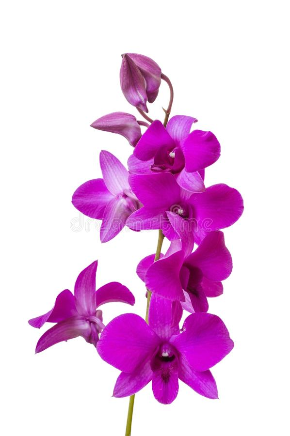 Verzweigen Sie sich mit Blüte der purpurroten Orchidee Getrennt auf weißem Hintergrund stockfotografie