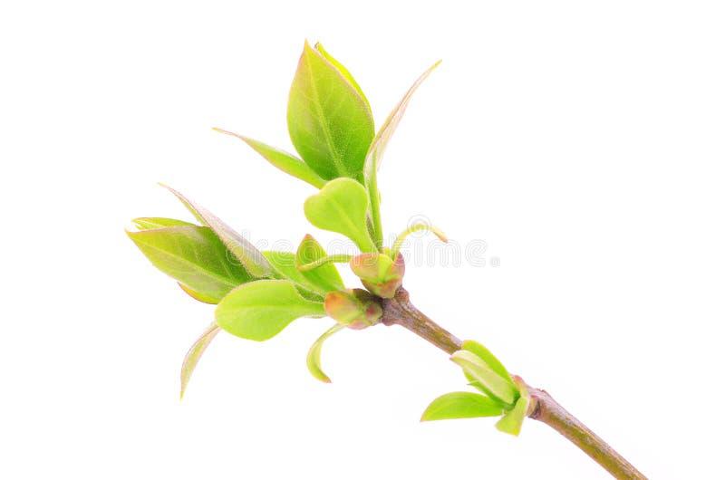 Verzweigen Sie sich mit den grünen Blättern, die auf Weiß lokalisiert werden lizenzfreie stockfotos