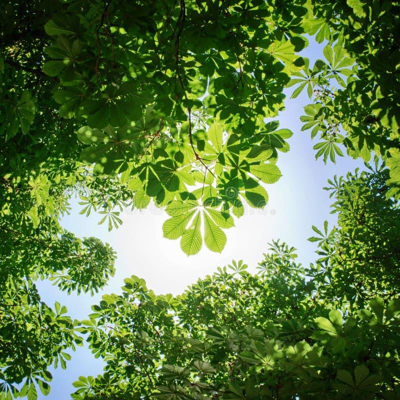 Verzweigen Sie sich mit jungen Blättern eines Ahorns auf einem Hintergrund des blauen Himmels stockfotos